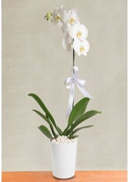 Gün Doğumu orkide