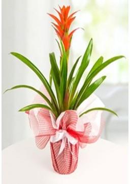 guzmanya saksı bitkisi