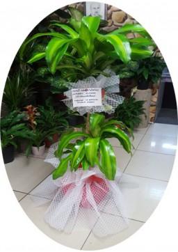 Dracena Saksı Çiçeği 3 LÜ